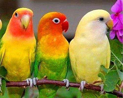 牡丹鹦鹉喂食的注意事项